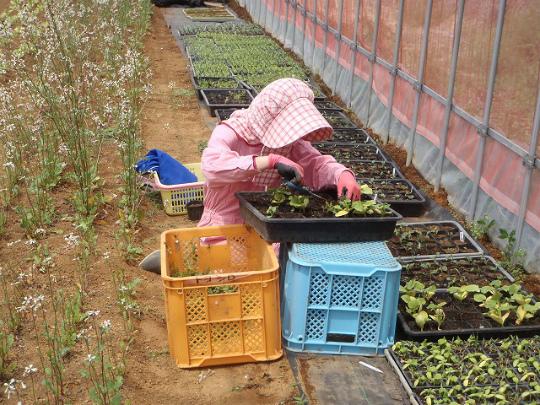 育苗野菜1