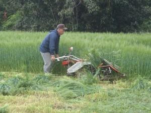 大麦収穫3