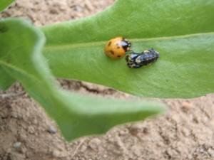 蛹から成虫へ