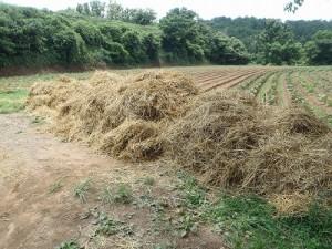 小麦麦わら3