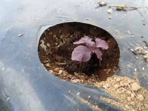 4赤紫蘇定植⑥