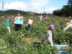 エキナセア収穫風景①