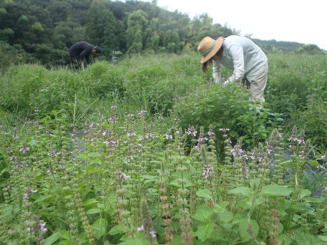 ホーリーバジル収穫②