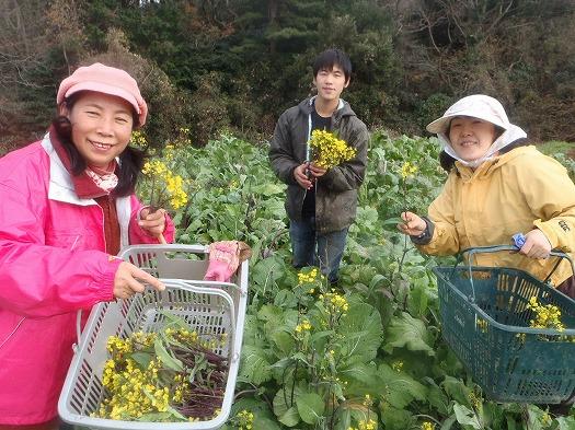 紅菜苔収穫風景②