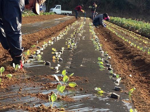 B面にキャベツの苗を定植③