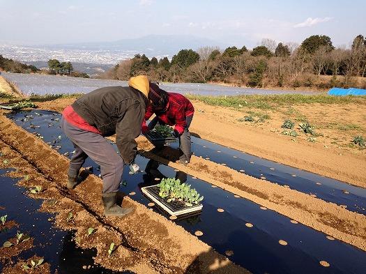 B面にキャベツの苗を定植②分担しえ苗をおいていく