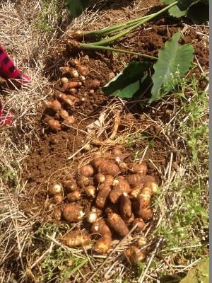 里芋の収穫⑥