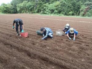 サトイモ作業風景