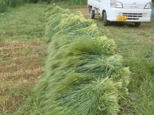 大麦収穫2