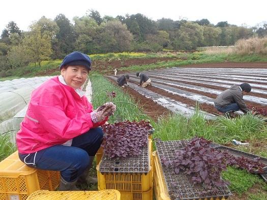 赤紫蘇定植開始①