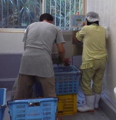 洗い終わったエキネシアは全てその日に裁断し酵素に漬け込みます