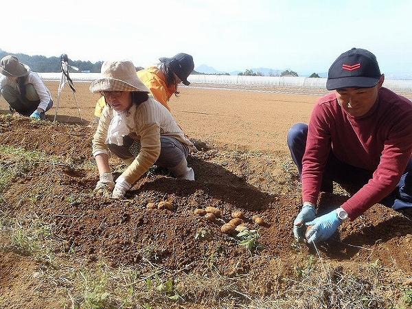 ジャガ芋掘り風景①