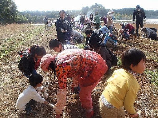 ジャガ芋掘り風景②