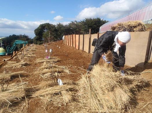 牡丹、芍薬株まわり藁敷き④