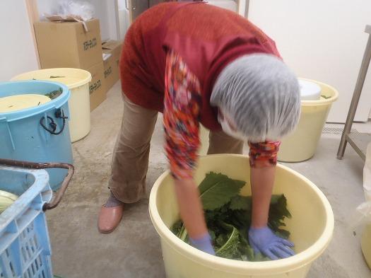 野沢菜を樽に漬け込んでいきます②