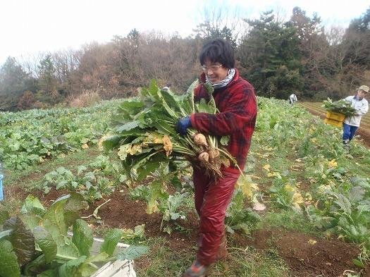 野沢菜収穫風景②