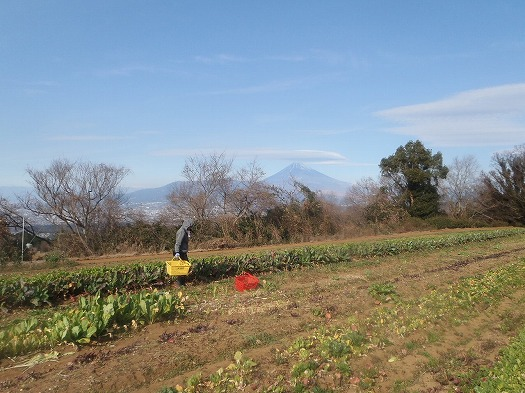 A面野菜収穫②