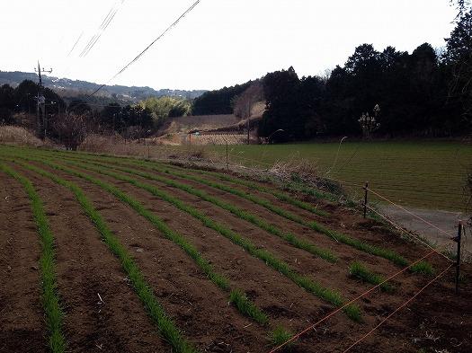 細沢中段下段共に小麦は順調です。