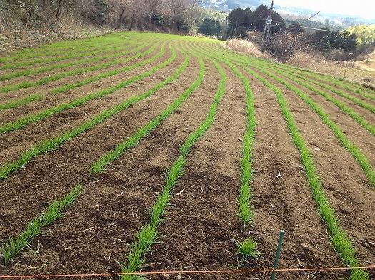 細沢中段の小麦