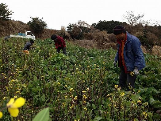 紅菜苔収穫風景