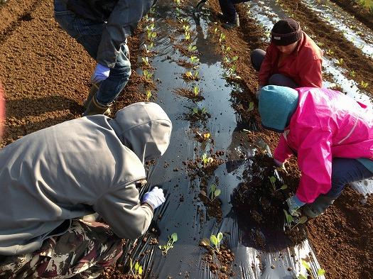 B面にキャベツの苗を定植⑤皆で協力してやるとみるみる進んでいく!