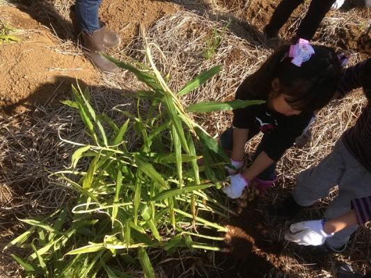 生姜も収穫①