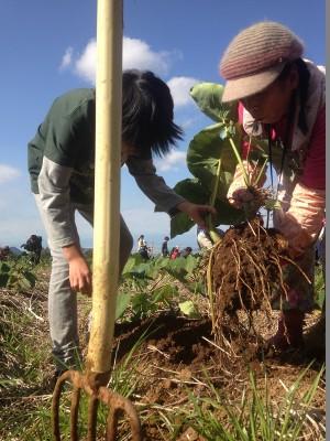 里芋の収穫③